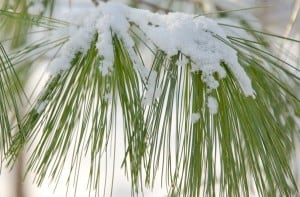 Green needles: Use Green to highlight winter beauty