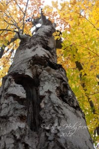 An old gnarled tree